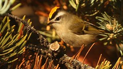 Golden-crowned Kinglet (Greatblue1) Tags: regulussatrapa goldencrownedkinglet summerland okanaganbirding birdinginbritishcolumbia
