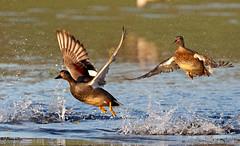 Gadwall pair take off (Ted Humphreys Nature) Tags: gadwall ducks britishisles tedhumphreysnature