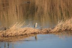 La #garza real (#Ardea cinerea) #garzareal #aves #birdsofinstagram #birds #pajaros #greyheron #river #rio #riollobregat #elpratdellobregat #elprat #espaisnaturalsdeldelta #ardeidae #ciconiiformes #bernatpescaire (Carolina_BCN) Tags: garza garzareal aves birdsofinstagram birds pajaros greyheron river rio riollobregat elpratdellobregat elprat espaisnaturalsdeldelta ardeidae ciconiiformes bernatpescaire