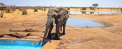 Panoramic view of a elephant drinking from the camp swimming pool (paulafrenchp) Tags: panorama camp view scenics elephant pachyderm africanaloxodonta large ears trunk powerful bigfive tusk zimbabwe hwange national park game reserve acaciatree conservation animal mammal outdoors nature wildlife wild southernafrica africa safari adventure travel exciting destination plains savannah vacation tourism animalsinthewild traveldestination amazing dry arid natural bushveld wilderness beautyinnature