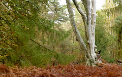 New Forest NP, Hampshire, UK (east med wanderer) Tags: england hampshire newforestnationalpark nationalpark trees bracken beech pines