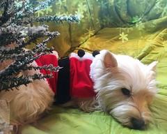 Santa's Little Helper (markdavidsmom) Tags: merry snow westie white red tree costume santa christmas portrait pet dog terrier highland west