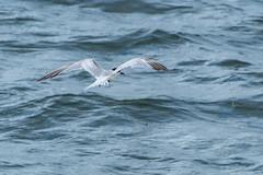 Gull-billed Tern in Flight (Merrillie) Tags: gullbilledtern tern seabird australia windy waterbird newsouthwales animal nsw wildlife sea ocean bird portmacquarie outdoors daytime fauna coast coastal water