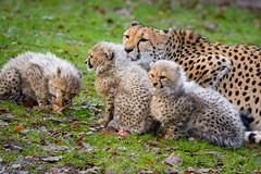 Cheetah family (Mathias Appel) Tags: cheetah gepard big cat katze raubtier predator cub cubs junges jung young baby feline zoo tierpark kätzchen kitten kittens nikon d7100
