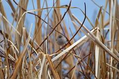 In The Center (Neal D) Tags: bc abbotsford milllake bird bushtit psaltriparusminimus