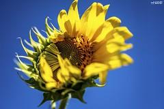 12_100 x Flowers (red stilletto) Tags: stkilda stkildamelbourne vegoutcommunitygardens vegoutcommunitygardensstkilda flower flowers sunflower sunflowers summer 100flowers 100flowers2019 macro
