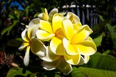Frangipani (.Stephen..Brennan.) Tags: da1017fisheye flowers pentaxk3 perth westernaustralia australia au