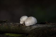 Buchenschleimrüblinge (Julius310) Tags: buchenschleimrübling rübling pilz wald buche totholz makro pilzfotografie macro nahaufnahme herbst buchenwald mushroom fungi naturfotografie nikon d500 nikond500