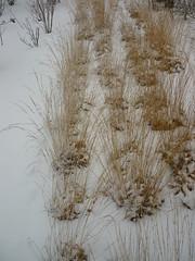 Niedriges Gräserband - Winter (Jörg Paul Kaspari) Tags: hosingen centre ösling winter gras grass grasses schnee snow gräserband deschampsiacespitosa rasenschmiele