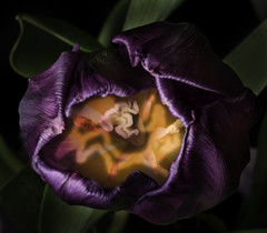 Looking Down Into a Purple Tulip (Bill Gracey 22 Million Views) Tags: tulip purple lookingdown fromabove fleur flower flor offcameraflash darkbackground floralphotography nature naturalbeauty color colorful orange green greenbackground macrolens lastoliteezbox softbox yongnuo yongnuorf603n homestudio lakeside