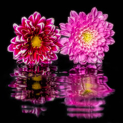 Rippled Reflection (Idlefrog Photo) Tags: flowers pink water red ripples reflection ripple petals blackbackground