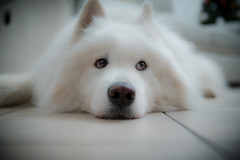 Samoyede (romain.roussel) Tags: dog chien samoyede blanc white animal