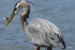 Oh, F*#@!! (H.B. Mejia) Tags: greatblueheron vancouver canada stanleypark ohf yegphotographer nikon nikond800e birds heron ocean britishcolumbia prey food caught thatlook