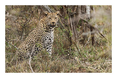 2018 02 04_Leopard-1 (Jonnersace) Tags: africa africanmammals leopard pantherapardus luiperd predator hunter feline bigcat krugernationalpark southafrica mammal wildwingssafaris wild nature canon canon7dii canon100400ii eyes teeth whiskers spots beauty fearsome magnificent bush colours
