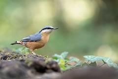Sitelle torchepot (Dakysto94) Tags: sitelle torchepot oiseau bird animal nature