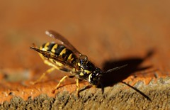 Wespe / yellowjacket (4) (Ellenore56) Tags: 16112018 wespe wespen yellowjacket wasp echtewespe vespinae hornet papierwespen insekt insect stinger tier animal animals lebewesen creature beneficialorganism usefulanimal tropfen drop drops tröpfchen droplet fauna tierwelt natur nature detail moment augenblick sichtweise perception perspektive perspective reflektion reflexion reflection farbe color colour licht light inspiration imagination faszination magic magical sonyslta77 ellenore56