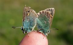 Tomares ballus (J Carrasco (mundele)) Tags: valdemoro cdemadrid insectos mariposas rhopalocera papilionoidea lycaenidae lycaeninae eumaeini tomares