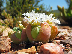 white flowering gibbaeum heathii - calitzdorp, south africa 2