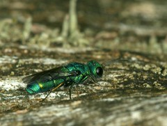 Chrysis sp. (chug14) Tags: macro insect nature animalia arthropoda hexapoda insecta hymenoptera apocrita chrysidididae chrysis