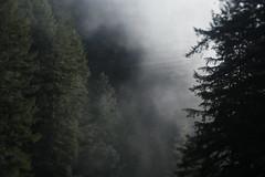 Salmon River (Tony Pulokas) Tags: salmonriver oregon forest oldgrowth douglasfir fog winter tree tilt blur bokeh