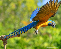Blue-throated Macaw (Harry Rother) Tags: parrot macaw bluethroated endangered wingedencounters