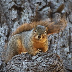 Fox Squirrels in Ann Arbor at the University of Michigan - January 4th, 2019 thumbnail
