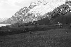 Alpaca Life (IggyRox) Tags: peru andes mountains southamerica film 35mm hike trek nature beauty cuscoregion ausangatecircuit ausangate auzangate vilcanotarange canchisprovince pitumarcadistrict quispicanchiprovince ocongatedistrict cordilleravilcanota highaltitude blackandwhite alpaca glacier ice lagunajatunpucacocha herd atmosphere light laguna lake view capture
