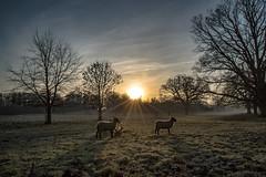 sheep (karina Novakova) Tags: sheep sun morning sunrise sunset starburst sunstar sky skyscape tree trees field