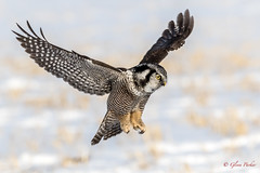 Northern Hawk  Owl 2 (Glenn R Parker) Tags: northernhawkowl owls