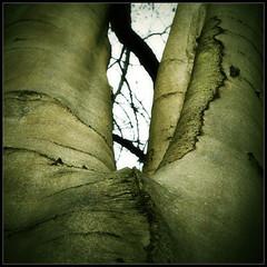 beech (luci_smid) Tags: tree bark beech shapes pattern texture