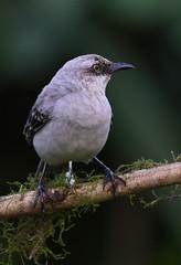 Tropical Mockingbird (anacm.silva) Tags: tropicalmockingbird ave bird wild wildlife nature natureza naturaleza birds aves bogarintrail lafortuna costarica mimusgilvus coth coth5
