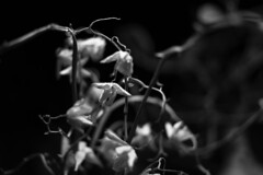 Phalaenopsis orchid (death) (Eklandet) Tags: close closeup closeupphotography djungle flower flowers macro moth orchid orchide phalaenopsis samsung flowerphotography orchidflower monochrome monochromephotography bw svartvitt black white blackandwhite blackandwhitephotography blackandwhitephoto blackandwhitephotonatur fineartphotography