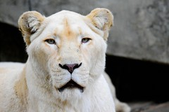 Female White Lion @ Ouwehands Zoo 2017 (By Peter Hollander, thanks for + 200.000 views) Tags: lion whitelion predator bigcat majestic animal ouwehands d7200 sigma150600sports zoo zoomlens nikon closeup