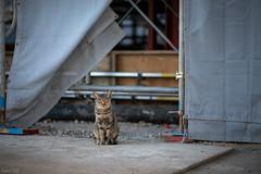 (現場)猫 (fumi*23) Tags: ilce7rm3 sony street sel85f18 85mm fe85mmf18 katze gato gatto neko cat chat a7r3 emount bokeh animal ねこ 猫 ソニー