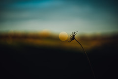 all is well what starts well IV (culuthilwen) Tags: sonya99 sonyalpha99 sonysti helios44m6 helios fullframe vintagelens bokeh winter weeds lights depthoffield blurry nature dof minimal gold blue dusk