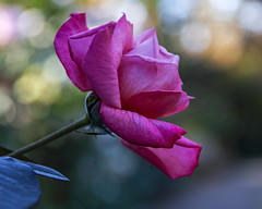 2018 Autumn rose (shinichiro*) Tags: 20181102sdim6783 2018 crazyshin sigmasdquattroh sdqh sigma1770mmf284dcmacrohsm november autumn yokohama 横浜イングリッシュガーデン rose flower macro 31983305018 3966937 201811gettyuploadesp