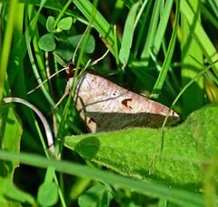 The Blackneck ... Lygephila pastinum (AndyorDij) Tags: moth lepidoptera insect andrewdejardin england empinghammoths empingham rutland uk unitedkingdom lygephilapastinum theblackneck