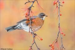 American Robin Hanging Out (Daniel Cadieux) Tags: robin americanrobin fruit fruittree berries berry autumn ottawa