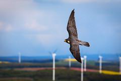 Falcon (altmeyerphotography) Tags: bird flight speed falcon potzberg neunkirchen canon 700d