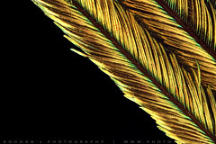 Peacock feather IV (Bogdan Raducan) Tags: peacock feather focusstacking colors labwork