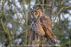 Happy Thanksgiving 2018 (Tony Varela Photography) Tags: owl longearedowl asiootus leow canon photographertonyvarela owlsofthepacificnorthwest