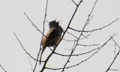 Horicon Marsh Bird Festival 2018 (turn off your computer and go outside) Tags: 2018birdfestival birdingtheoldmarshroad birdsofminnesotaandwisconsinpage336 horiconmarshnwr may redwingedblackbird wi wisconsin agelaiusphoeniceus bird critter identified nature outdoors overcastday spring