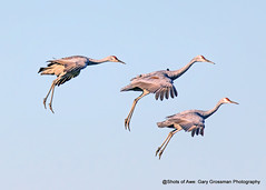Stages of Crane (Gary Grossman) Tags: cranes birds wildlife nature northwest fall autumn garygrossmanphotography wildlifephotography pacificnorthwest sandhillcranes