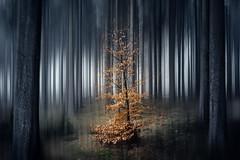 the last (Gruenewiese86) Tags: harz forest wald blurred bewegungsunschärfe mystic mystisch wälder woodland atmosphäre geisterhaft beängstigend dunkel geheimnisvoll halloween hintergrund baum bäume holz landschaft abenddämmerung düster fantasy funke funken schatten licht verzaubert surreal nebel neblig natur nacht dunkelheit partikel magie magisch unterholz mischwald morgengrauen umwelt ökosystem forst nebelbildung angst ängstlich bergwald urwald