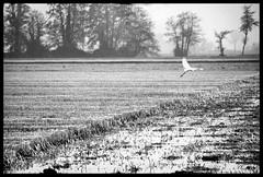 Spicca il volo! (claudiobertolesi) Tags: boscaccio biancoenero bw autunno paesaggio landscape lombardia animali fango volare claudiobertolesi campagna acquitrini airone campo campoagricolo italia parcoagricolosudmilano 2017 sterpaglia uccelli