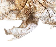 vanishing (Rosmarie Voegtli) Tags: fading leaf highkey dornach transparent iphone translucent pergament