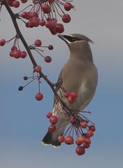 Looking at berries (woodwindfarm) Tags: cedarwaxwing berries sundaylights