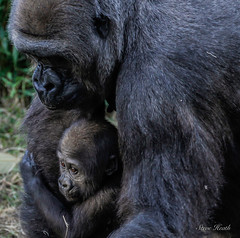The faces of Saambili and Hope. (rsheath76) Tags: dallaszoo gorillas baby westernlowlandgorilla faces