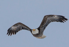 Baldie in Flight (edhendricks27) Tags: baldeagle bird inflight raptor nature wildlife animal canon