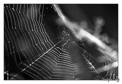 Photo de 2008. (christophe.leroy19) Tags: noiretblanc noirblanc nb blackandwhite blackwhite bw arraignee arraignees spider spiders toiledarraignee macro macrophoto macrophotographie